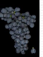 Montepulciano / Bild: Doris Schneider, Ursula Brühl, Julius Kühn-Institut (JKI), Federal Research Centre for Cultivated Plants, Institute for Grapevine Breeding Geilweilerhof - 76833 Siebeldingen, GERMANY