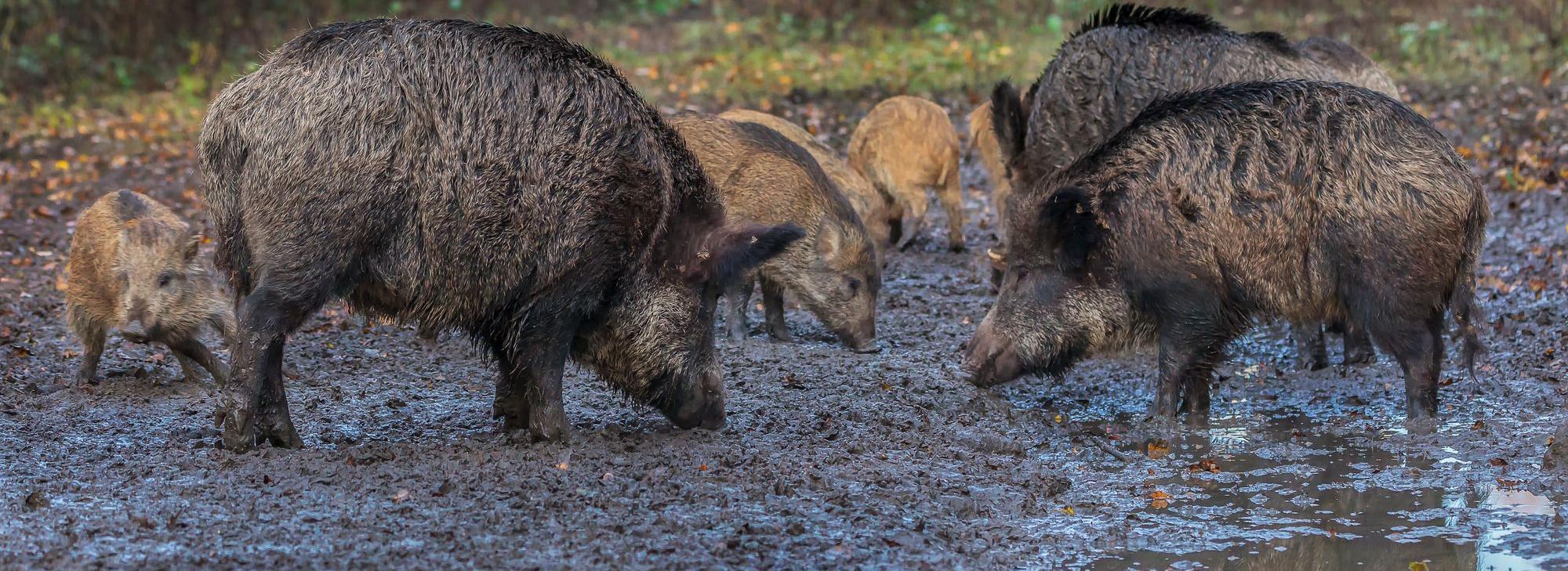 Rotte von Wildschweinen wildschwein.jpeg