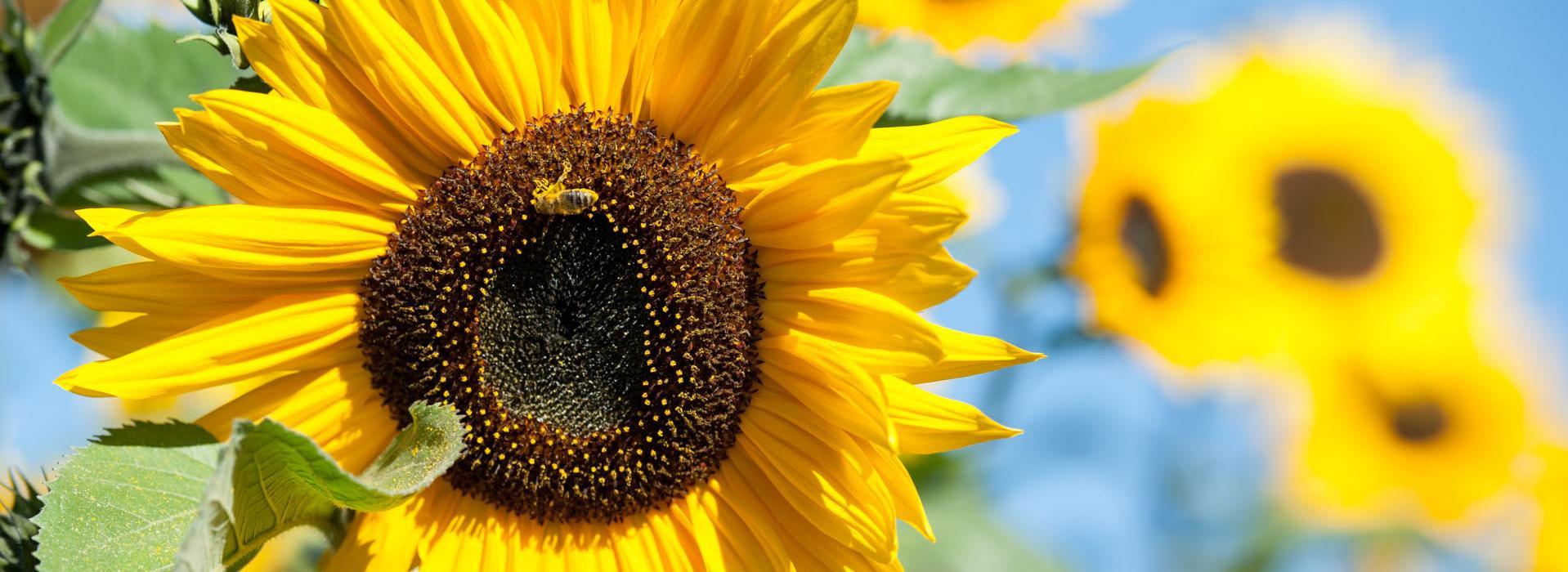 20150930_Sonnenblume_143_web.jpg