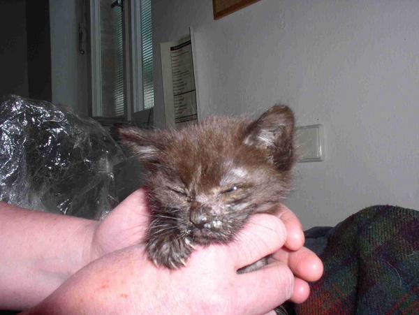 Unbehandelte Katzenwelpe mit Katzenschnupfen