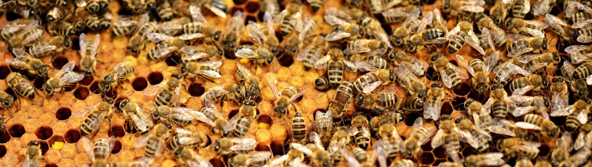 Bienen auf Waben bienen.jpeg